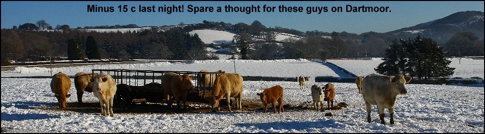 Cows feeding in the snow