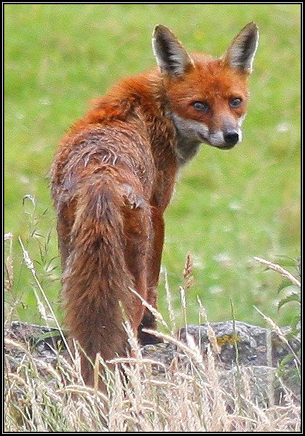 Fox in our garden