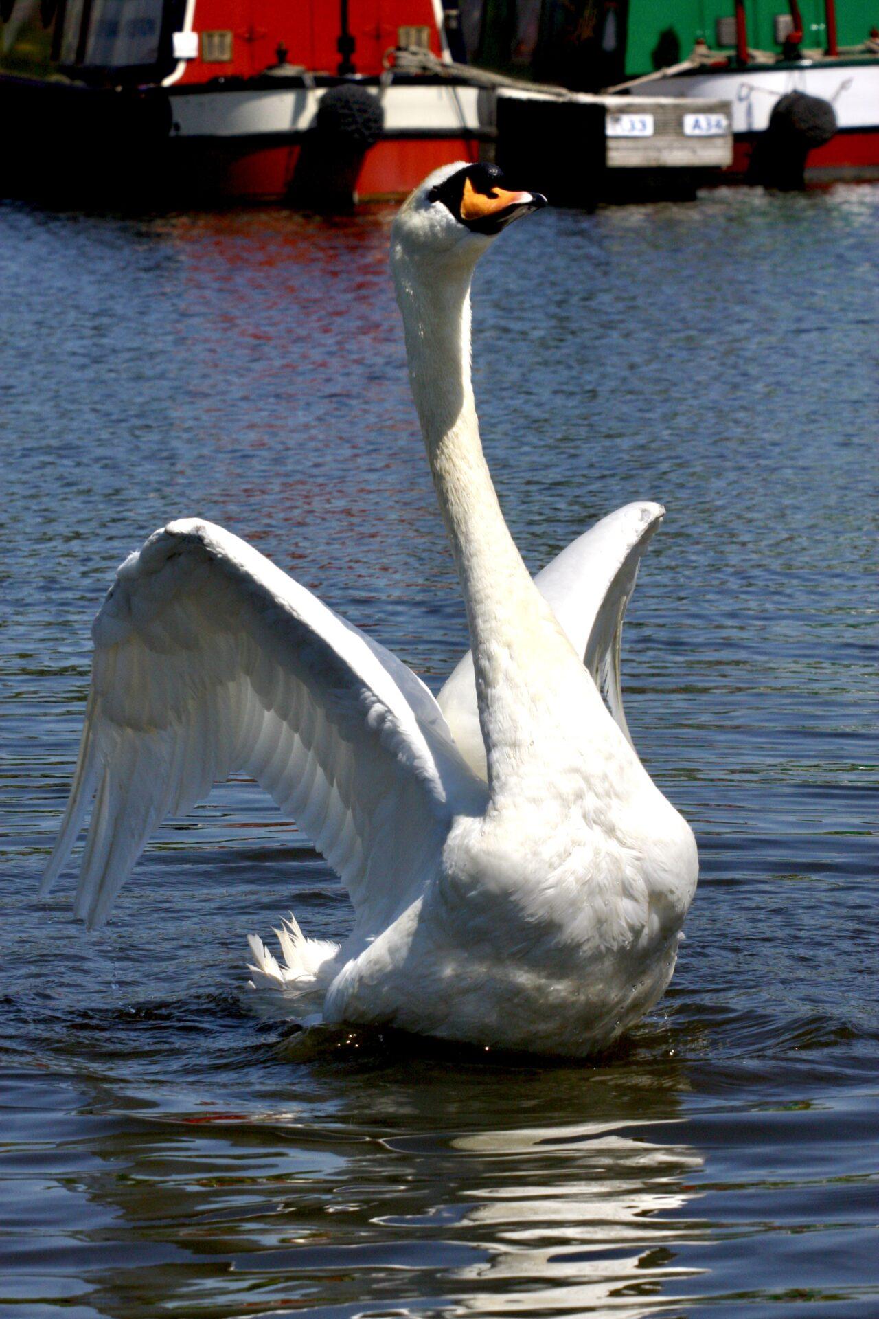 Swan at Aston marina